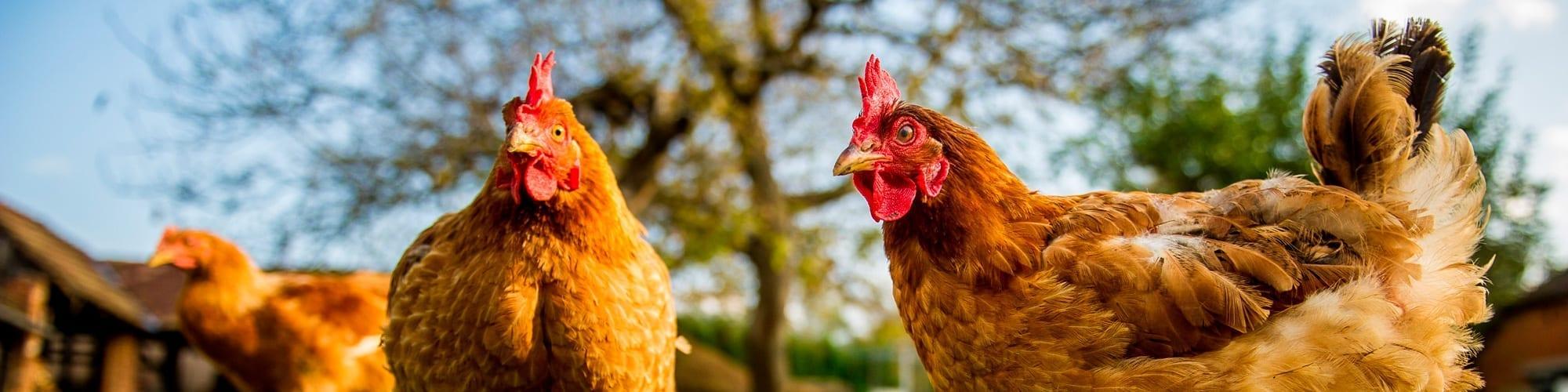 Blije Kip Biologisch ei voor dierenwelzijn
